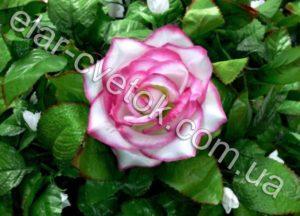Роза маленькая атлас