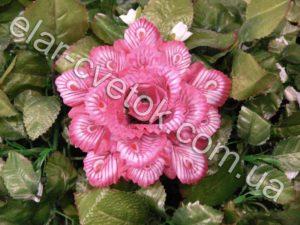 Роза павлин большая пёстрая
