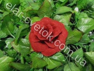 Роза средняя бархат